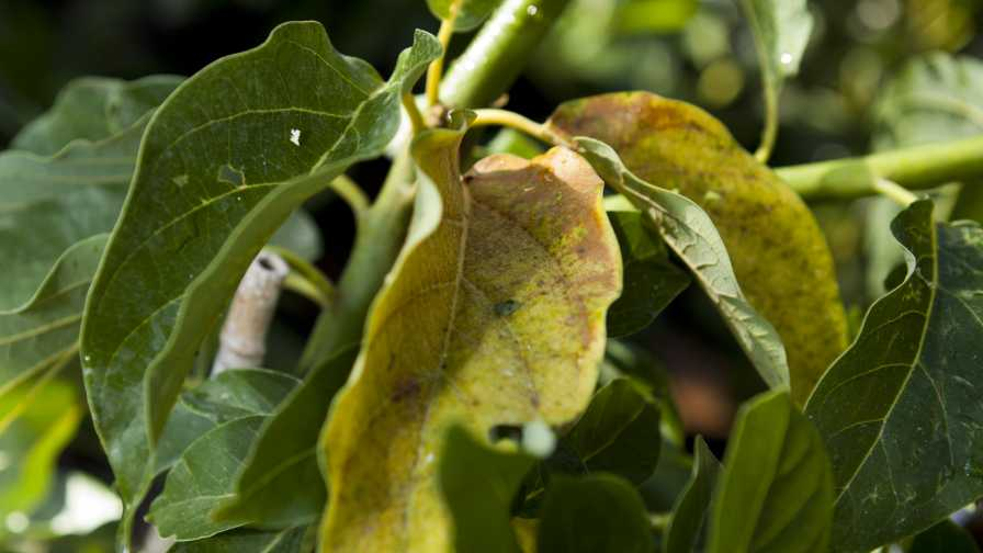 Laurel wilt-damaged avocado tree leaves