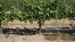 Irrigation Method Can 'Trick' White Grapes
