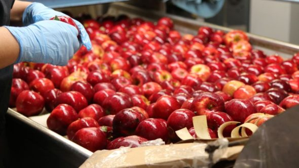 Prepping apples for cleaning, waxing, and sorting.