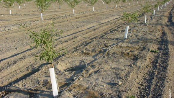 First-year impact of Prunus replant disease at the Firebaugh replant trial; stunted trees in the foreground row were planted in plot of non-fumigated replant soil. (Photo credit: University of California Agriculture)