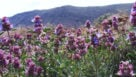 Purple sage (Salvia dorrii) (Photo credit: Flickr user Five Acre Geographic)