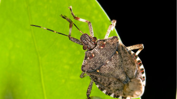 Brown marmorated stink bug. (Photo credit: USDA)