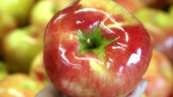 The giant Honeycrisp apples at Burnham Orchards sell quickly