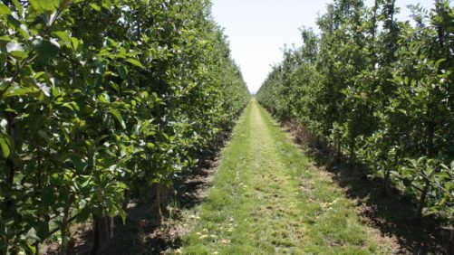 Orchard Systems Matter With Mechanization
