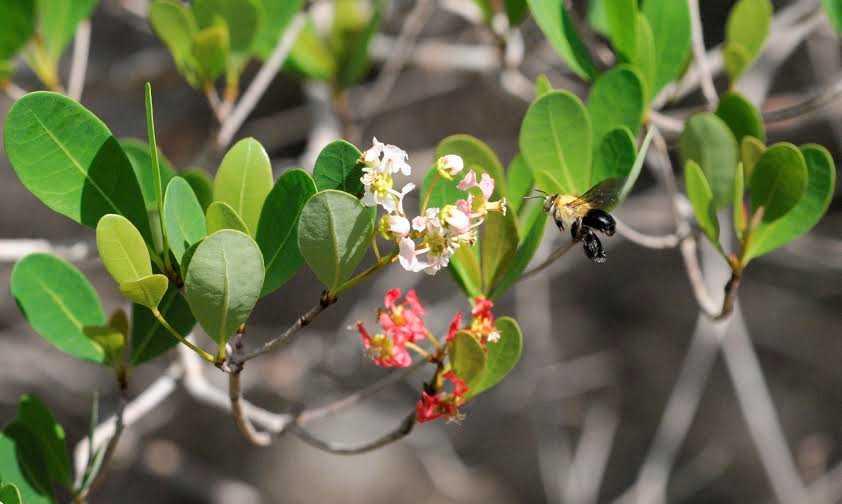 A non-native oil bee buzzes around a flowering plant at Fairchild Tropical Botanical Garden.