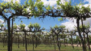 Organization Seeks Winegrape Exemption Produce Safety Rule