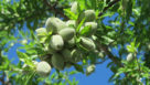 Almonds growing in a tree. (Photo credit: University of California Division of Agriculture and Natural Resources)