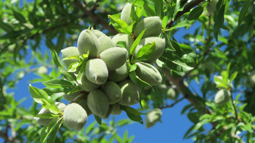 California Almond Crop Projected to Increase 5%