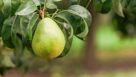 This Anjou pear is almost ripe for the picking. (Photo credit: Pear Bureau Northwest)