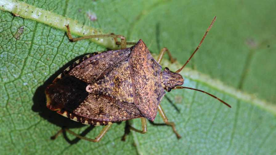 Close-up of a brown stink bug