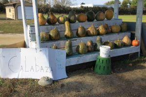 Calabaza or tropical pumpkin cucurbita moschata VanVranken