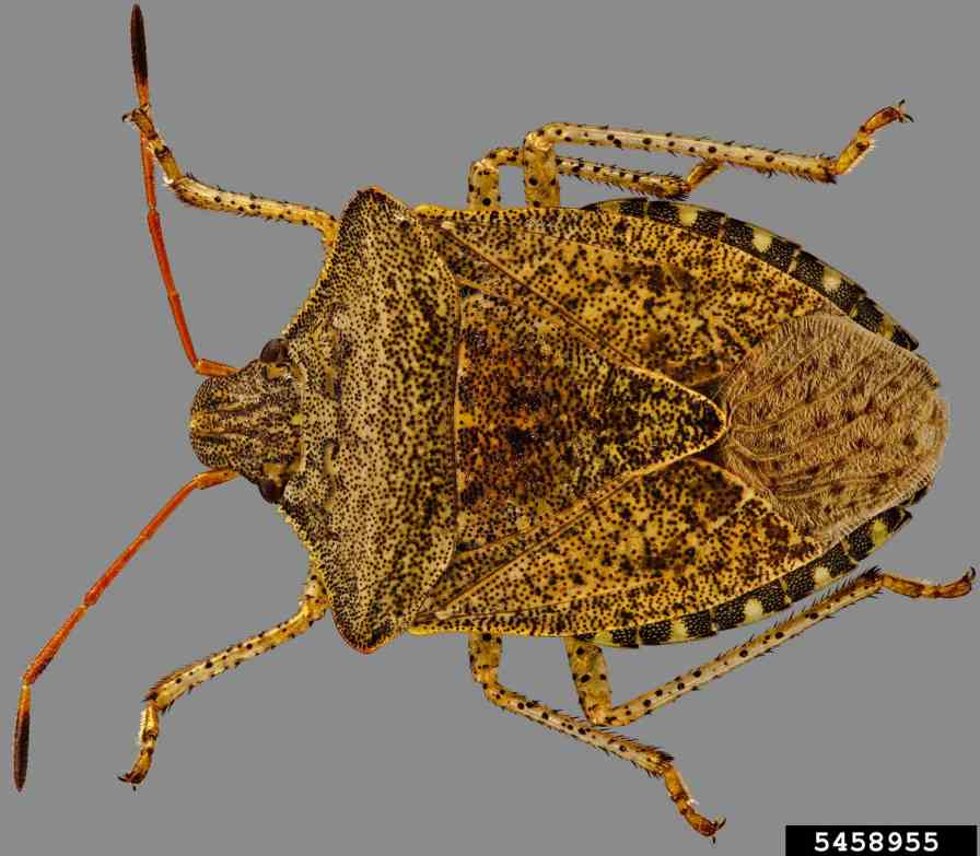 Consperse stink bug Photo credit: Steven Valley, Oregon Department of Agriculture, Bugwood.org