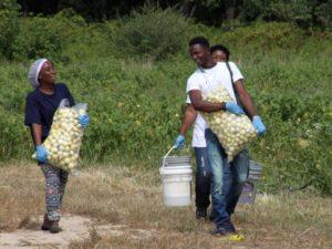 Familes carry Bitterball or Garden Egg eggplant Solanum melongena