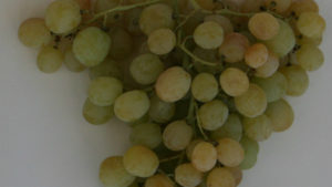 Don't Let High Temperatures Damage Grapes