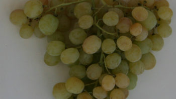 A cluster of table grapes, discolored by heat stress. (Photo credit: University of California Cooperative Extension)