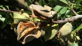 Hull rot of almond causes spur and limb dieback, potentially reducing future crops. (Photo credit: University of California Cooperative Extension.)
