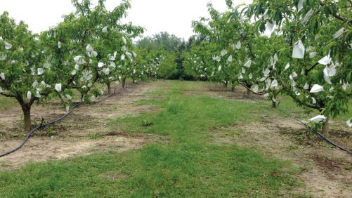 Organic Peach-Bagging Project Shows Great Promise