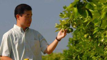 UF/IFAS scientist Daniel Lee inspects immature citrus fruit in a Florida orange grove.