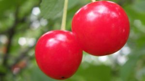 Researcher: Cherry Growers Must Use Disease Management Strategies When it Comes to SWD