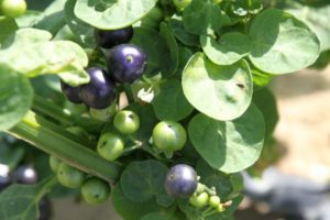 Solanum scabrum African nightshade or black nightshade Rick VanVranken