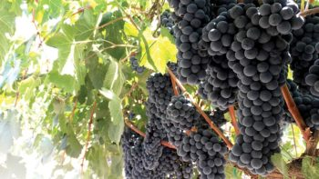 This is one of the most promising red winegrapes for California's San Joaquin Valley, a clone of Teroldego. (Photo credit: Lindsay Jordan, UCCE)