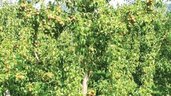 Treated pear in PGR trial