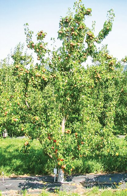 A pear tree treated with ReTain 14 days after bloom show PGR vigor control. (Photo credit: Todd Einhorn)
