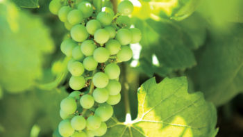 A warm winter could lead to an early harvest for  Washington grape. (Photo credit: Washington State University)