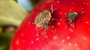Brown Marmorated Stink Bug Pressure Increasing