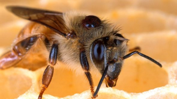 Varroa mites, like the one attached to the back of this honey bee, can decimate unprotected hives. The tiny parasites feed on the bees' blood and can infect them with harmful viruses. (Photo credit: Scott Bauer, USDA-ARS)