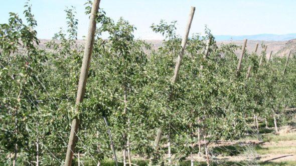 2012 Yakima,  WA Apple Orchard - Feature