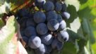 Alicante winegrapes, just prior to harvest, in Lodi, CA. (Photo credit: David Eddy)