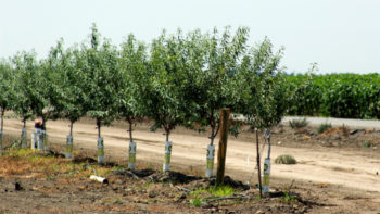 This young almond orchard uses drip irrigation. (Photo Credit: University of California Division of Agriculture and Natural Resources)