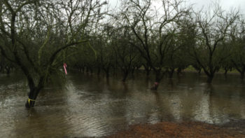 A flooded almond orchard being used to test underground aquifer recharge. (Photo credit: University of California Agriculture and Natural Resources)