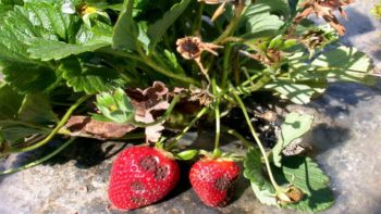 Late-season symptoms on C. acutatum infected strawberry. (Photo credit: Oleg Daugovish, UCCE)