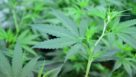 Cannabis plant closeup