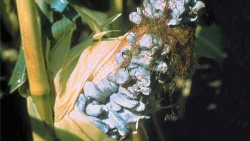 Open Your Eyes To Common Smut In Sweet Corn