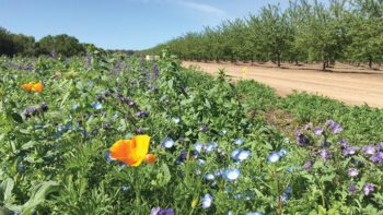 These wildflowers, planted near a California almond orchard, can be extremely effective in aiding pollinators. (Photo credit: Katharina Ullmann, Xerces Society)