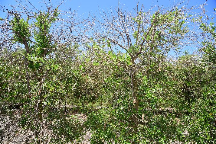 Defoliation seen on 'Arbosana' cultivar. (Photo credit: Flourent Trouillas, University of California)