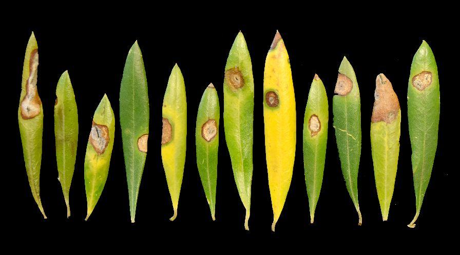 Neofabraea Leaf Spot on 'Arbosana' olive tree leaves. (Photo credit: Flourent Trouillas, University of California)
