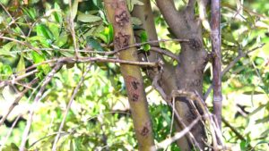 Neoafabraea pathogen on twig lesions at wounds caused by a mechanical harvester on 'Arbosana.' (Photo credit: Flourent Trouillas, University of California)