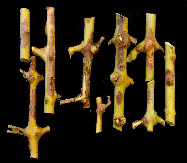 Neofabraea pathogen twig lesions on 'Arbosana' cultivar. (Photo credit: Flourent Trouillas, University of California)