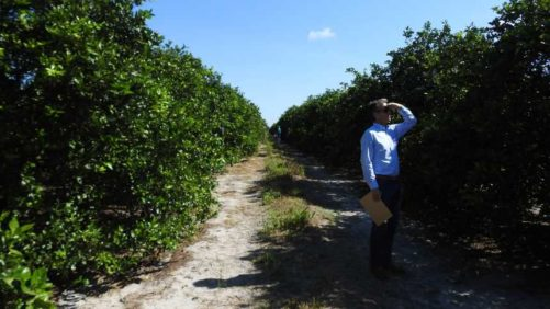 Florida's Citrus Production Forecast Tumble Stalls