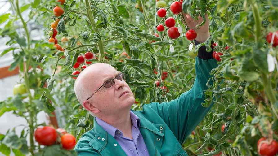 The precise mechanisms involved in tomato softening have remained a mystery until now. Research led by Graham Seymour, Professor of Plant Biotechnology in the School of Biosciences at The University of Nottingham, has identified a gene that encodes an enzyme which plays a crucial role in controlling softening of the tomato fruit.