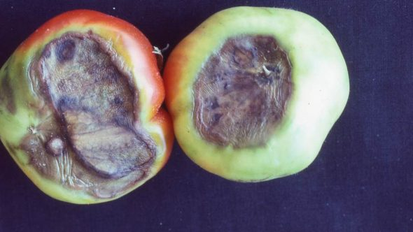 Blossom end rot on tomatoes is an example of one common abiotic issue that is caused by a combination of a nutrient disorder and environmental factors. Photo courtesy of the University of California Cooperative Extension.