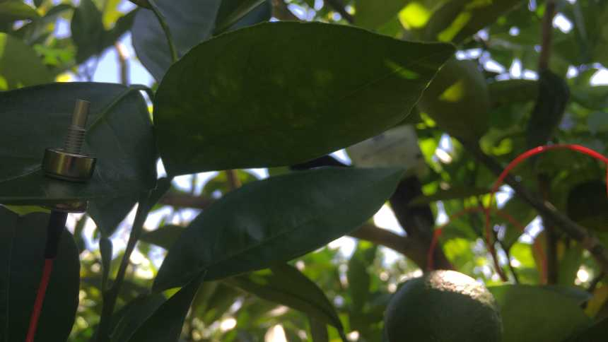 Closeup of a Yara Water Solution sensor on a citrus leaf