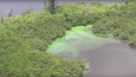 Algal bloom overtaking mangroves near Stuart, FL