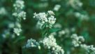 Closeup of buckwheat blooms