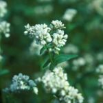 Closeup of buckwheat blooms