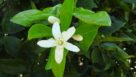 Closeup on a citrus blossom in Florida